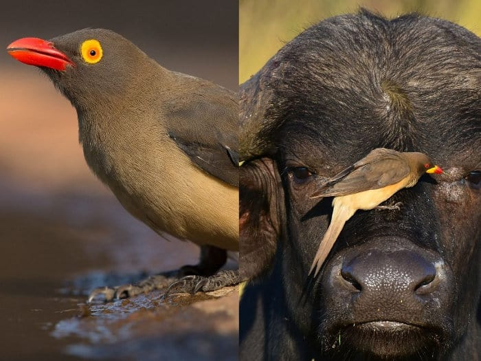 Red-billed oxpecker vs yellow-billed oxpecker: the main and most obvious difference is in the beak