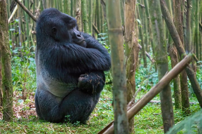 Large silverback mountain gorilla with crossed arms, sitting in a bamboo forest in Rwanda