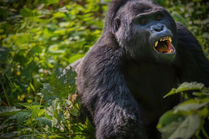 Silverback gorilla showing an aggressive behaviour towards another younger male