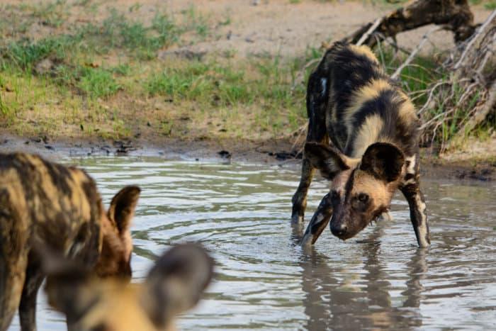 African wild dog playing in water, Sabi Sand