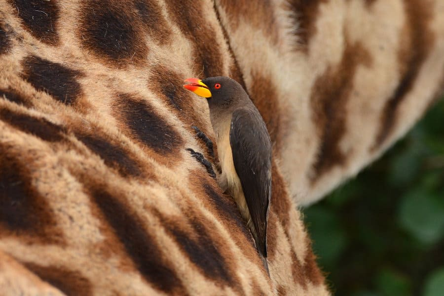 Yellow-billed oxpecker – A tickbird that lives on rhinos, hippos and zebras