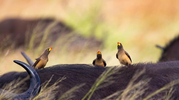 Three yellow-billed oxpeckers on a Cape buffalo, Kruger National Park