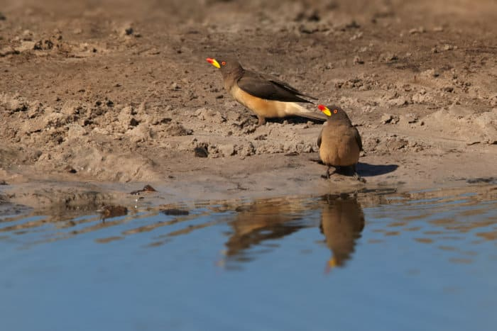 Pair of yellow-billed oxpeckers by a waterhole, revealing their own reflection