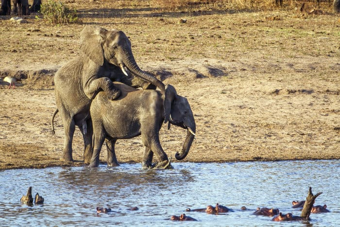 African bush elephants mating in the Kruger, overlooking a pod of curious hippos