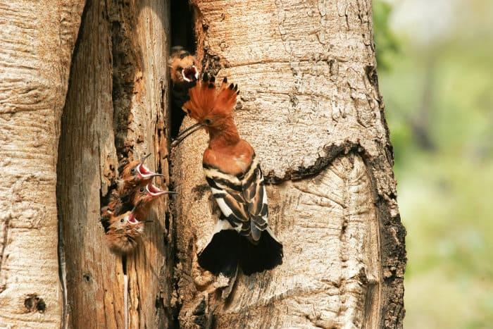 African hoopoe feeding its four chicks