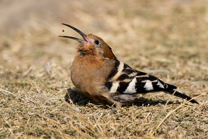 African hoopoe swallowing a small seed