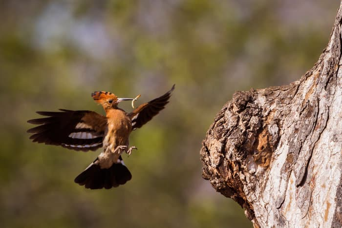 African hoopoe with larva in its beak approaches its nest