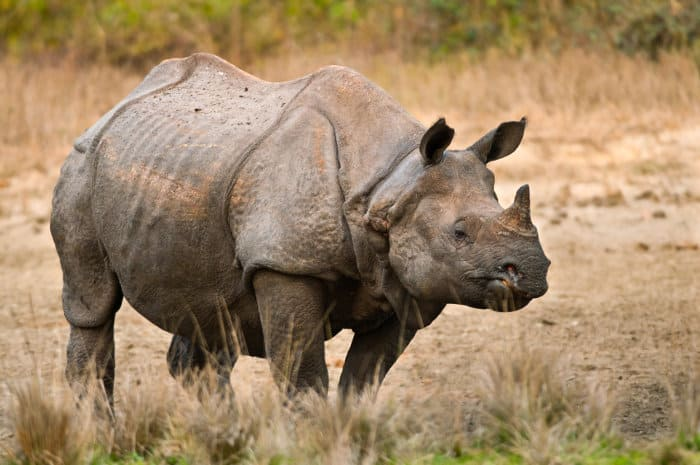 The greater one-horned rhino (or Indian rhino) is arguably the largest of the recognised rhino species