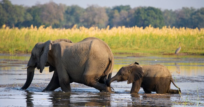 Mom elephant and her baby crossing the Zambezi river in Zambia