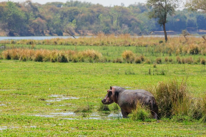 Lone hippo out of the water, grazing, in the Lower Zambezi