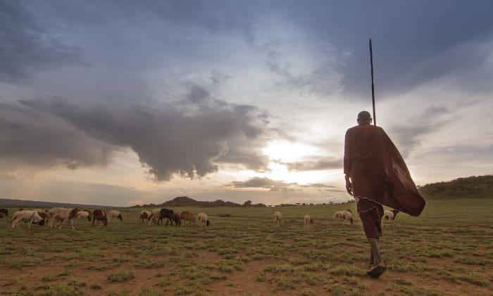 Kenyan Maasai warrior looking after his cattle