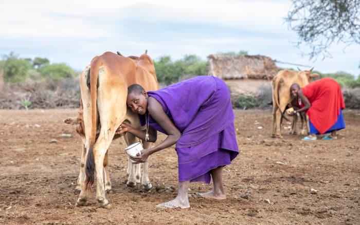 Maasai women milking their cows