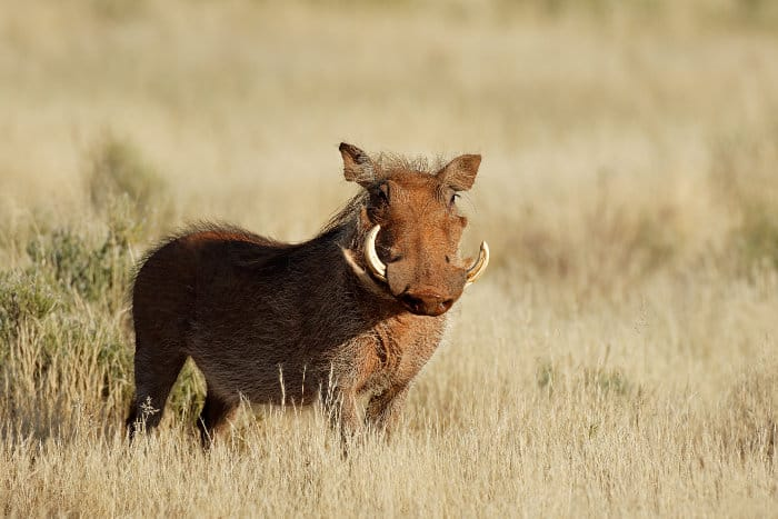Common warthog - Phacochoerus africanus - in its natural habitat