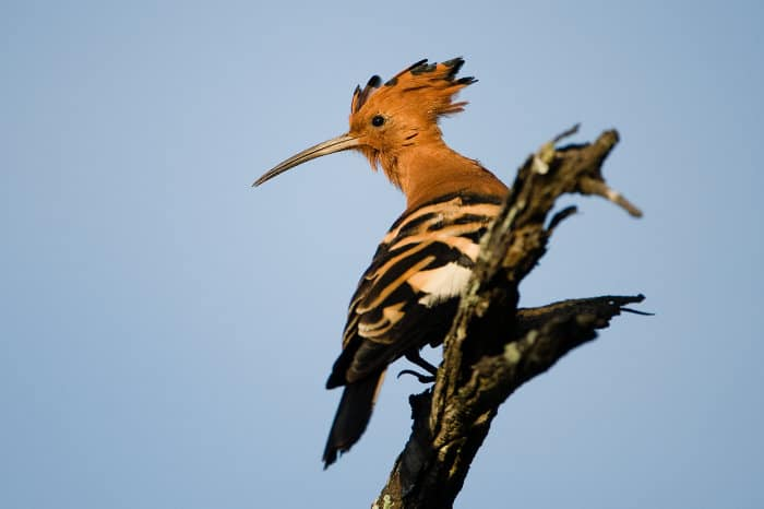 African hoopoe - Upupa africana - perched on top of a dead branch