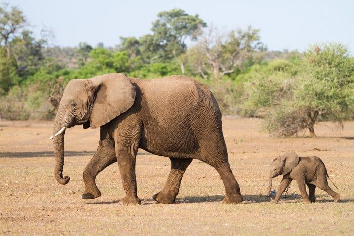 Baby African elephant following its mother, Mashatu Game Reserve, Botswana