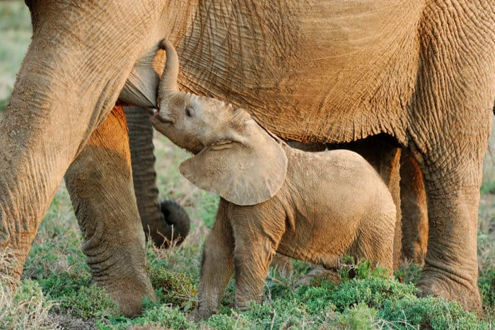 Baby African elephant suckling milk from its mother