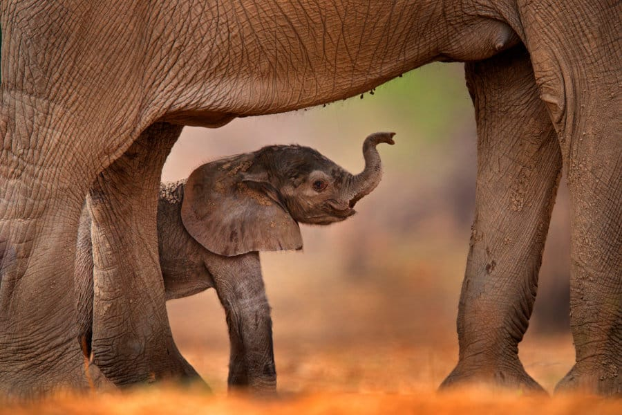 How much does a baby elephant weigh?