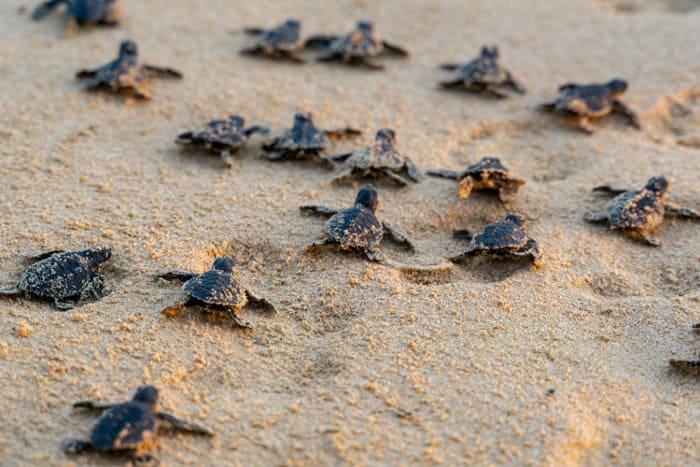 Baby sea turtles racing their way towards the ocean