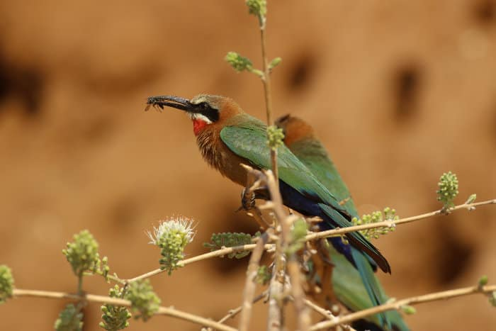 White-fronted bee-eater with his catch of the day