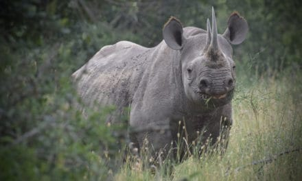 16 interesting facts about the black rhino: the endangered fighter