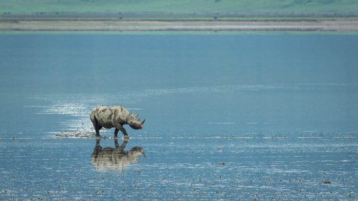 Black rhino walking across the edge of Lake Magadi in the Ngorongoro Crater, Tanzania