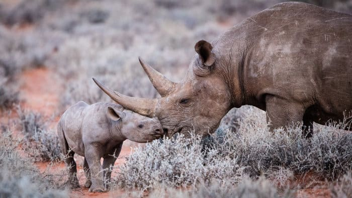 Tender moment between a black rhino and her calf
