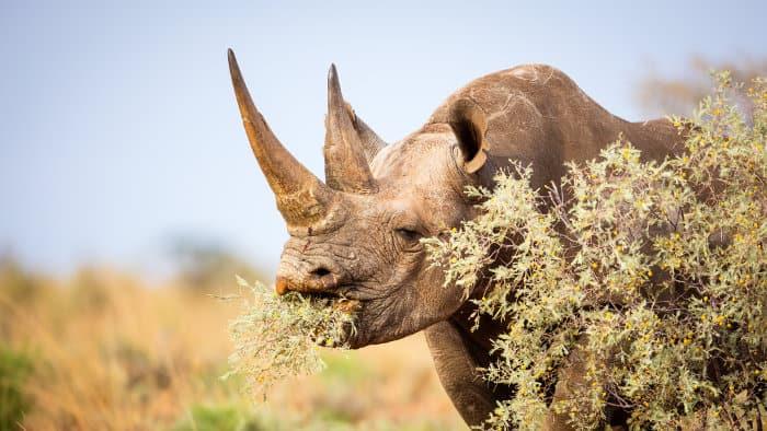 Female black rhino feeding on tasty bushes
