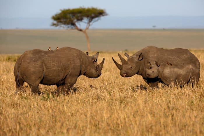 Black rhino family in the Masai Mara, Kenya