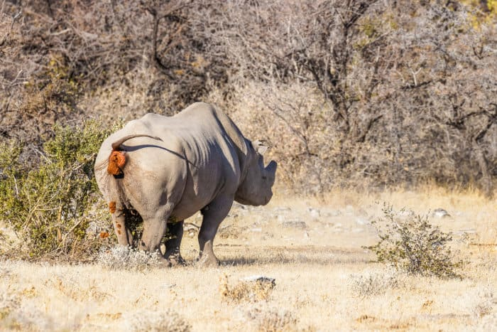 Male black rhinoceros marking its territory by pooping