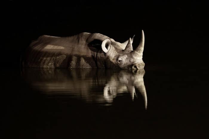 Black rhinoceros reflection at night, Namibia