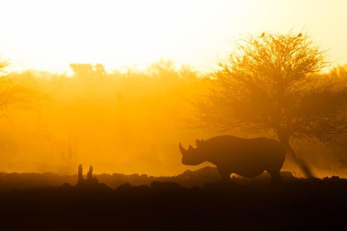 Black rhino silhouette at sunset, Etosha National Park