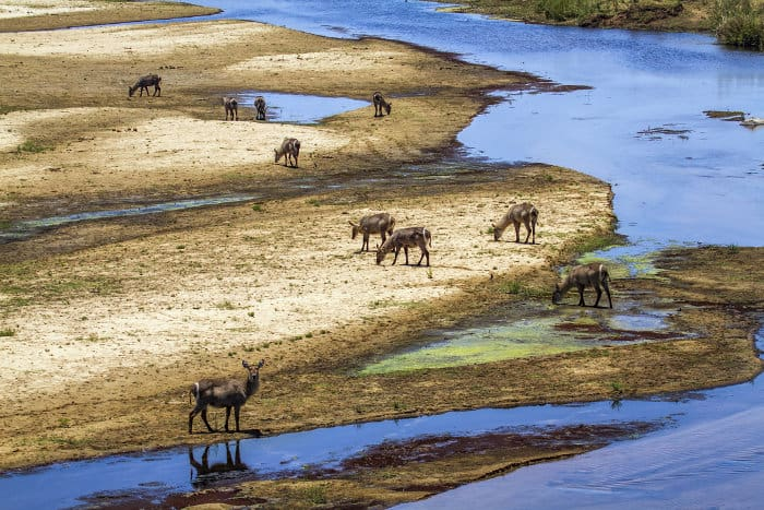 Herd of female common waterbuck by the river, Kruger park