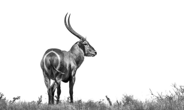 Common waterbuck – The water-loving African antelope