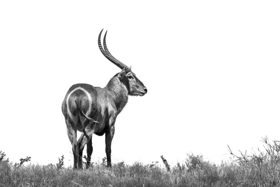 Common waterbuck – The water-loving African antelope