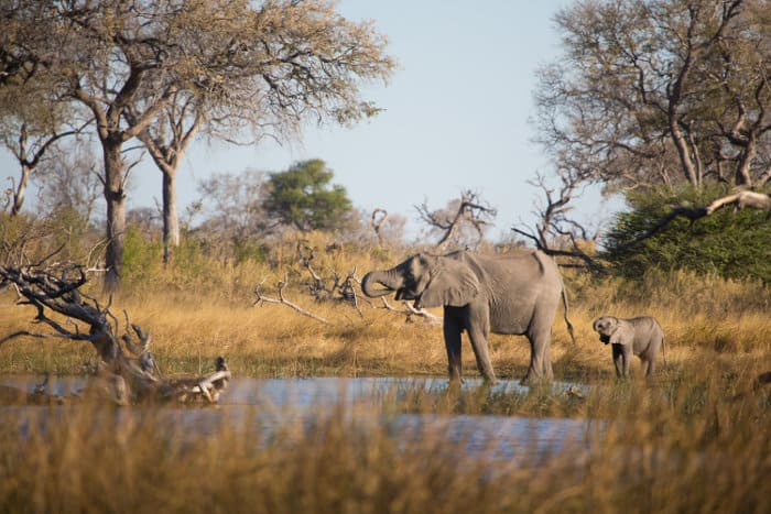 African elephant and her baby drinking water in the Linyanti swamps, Botswana