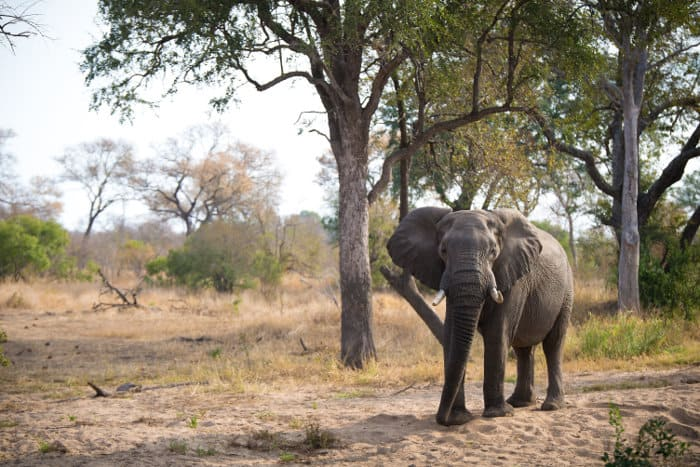 Big bull elephant under a large marula tree, Greater Kruger, South Africa
