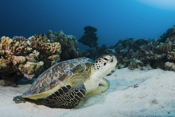 Green sea turtle at the bottom of the sea, Red Sea, Egypt