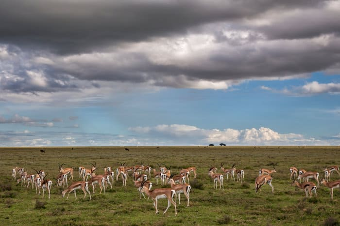Herd of Grant's gazelle with thunderstorm approaching in the background