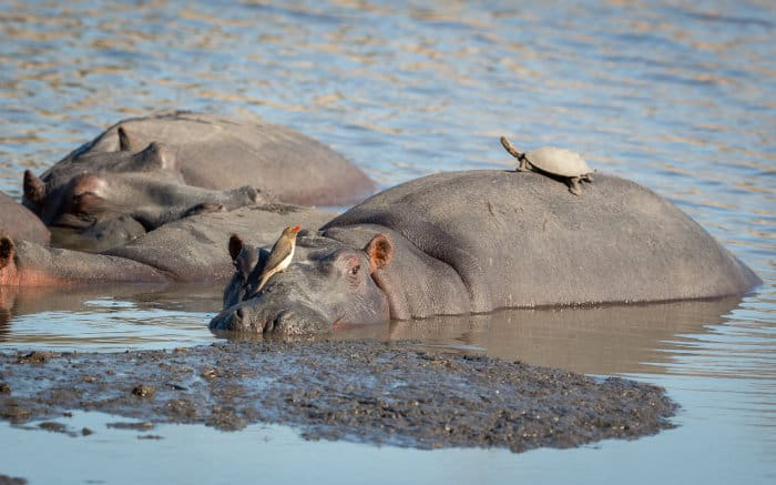 Hippo resting, with a red-billed oxpecker standing on its face and a terrapin sunning on its back