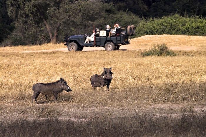 Safari jeep and warthogs in the Lower Zambezi National Park, Zambia