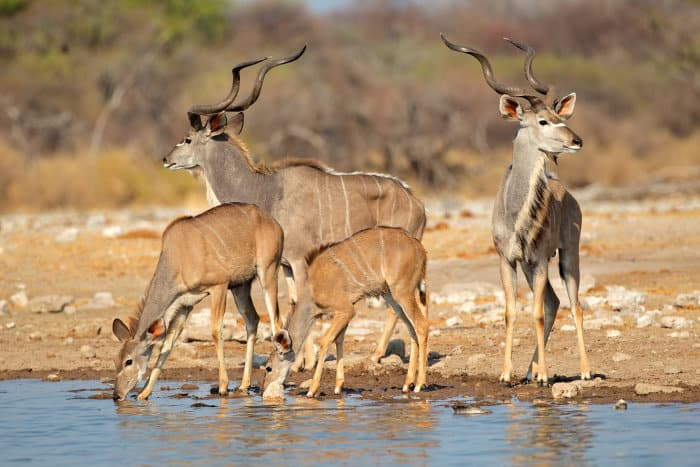 Family of greater kudu drinking at a local waterhole in Etosha, Namibia