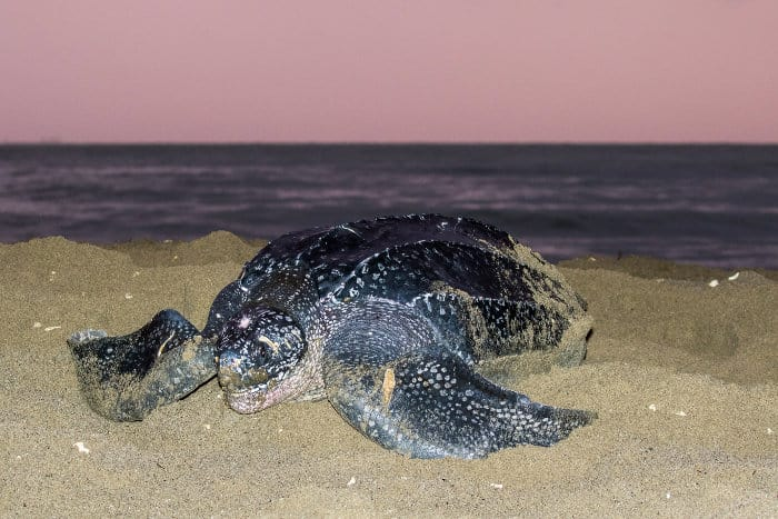 Leatherback sea turtle laying her eggs on the beach, in the Caribbean