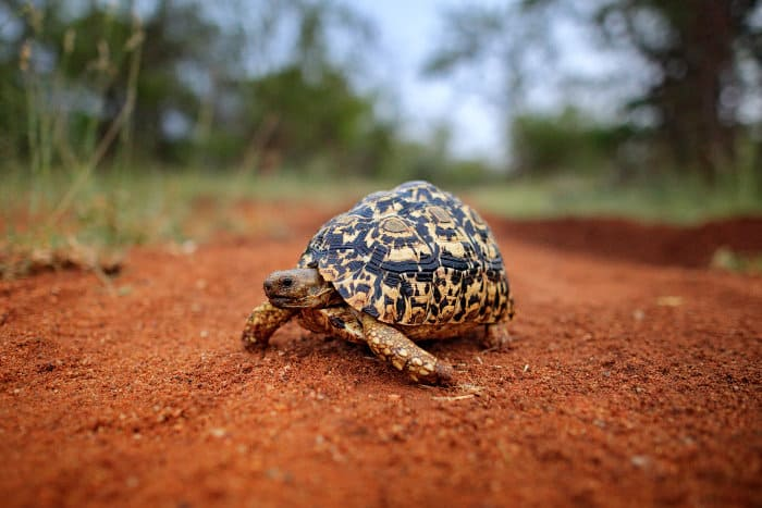 Leopard tortoise on laterite dirt road