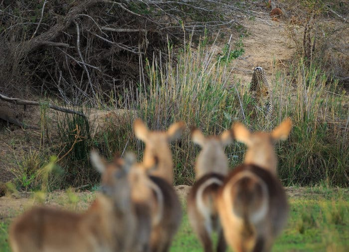 Herd of common waterbuck facing a lone leopard from a distance