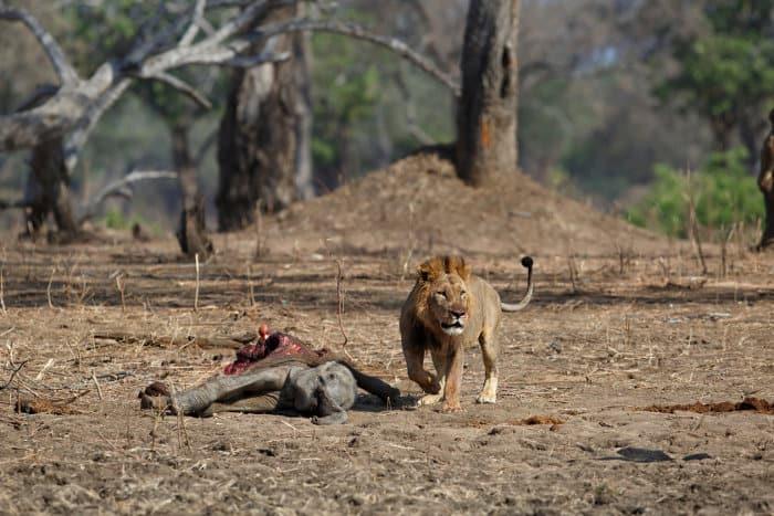 Male lion with freshly killed elephant calf, Mana Pools National Park, Zimbabwe