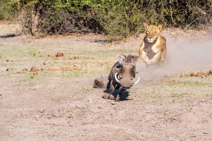 Lioness chasing a common warthog