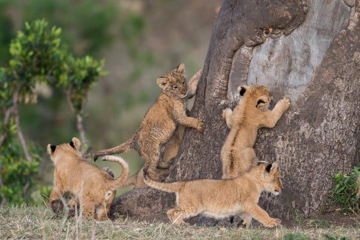 Cute lion cubs trying to climb a tree, Masai Mara