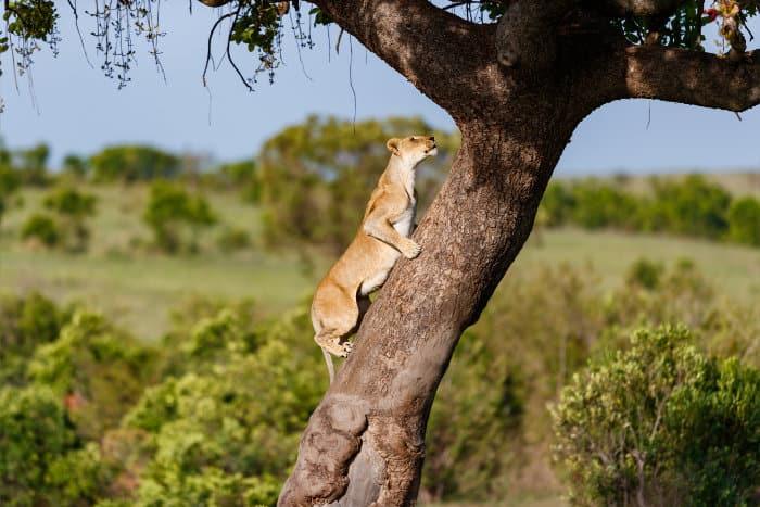 Lioness climbing up a tree in the Masai Mara, Kenya
