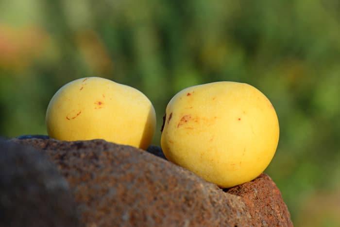 Ripe marula fruits - close-up shot