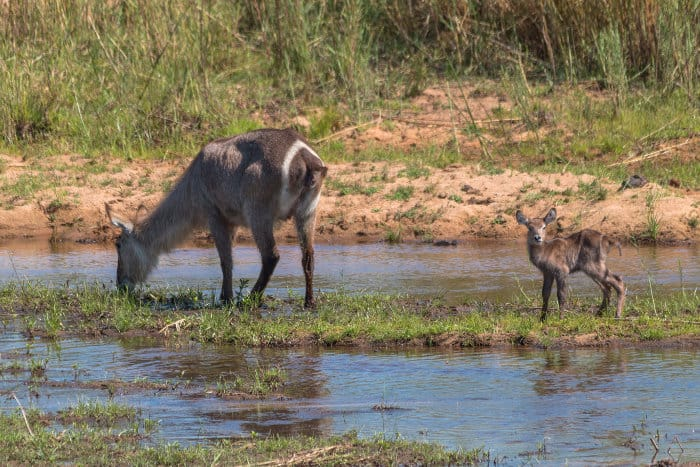 Mom and cute baby waterbuck by the river, South Africa